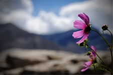 Flower at Thikse Monastery